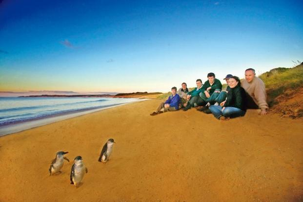 Little penguins on Summerland Beach. Courtesy Phillip Island Nature Parks