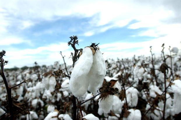 Raw cotton supplies usually peak in India between December and February, pushing down prices. Photo: Bloomberg