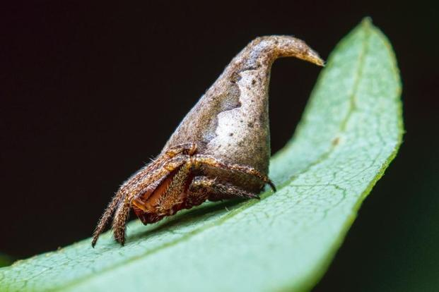 The Sorting Hat Spider in the Western Ghats. Sumukha J.N.