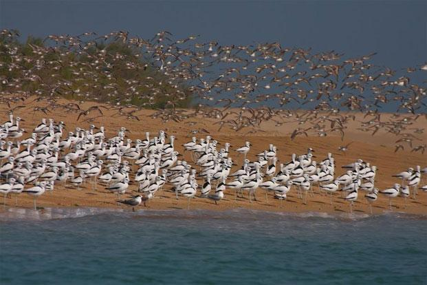 Crab Plovers at Marine National Park.