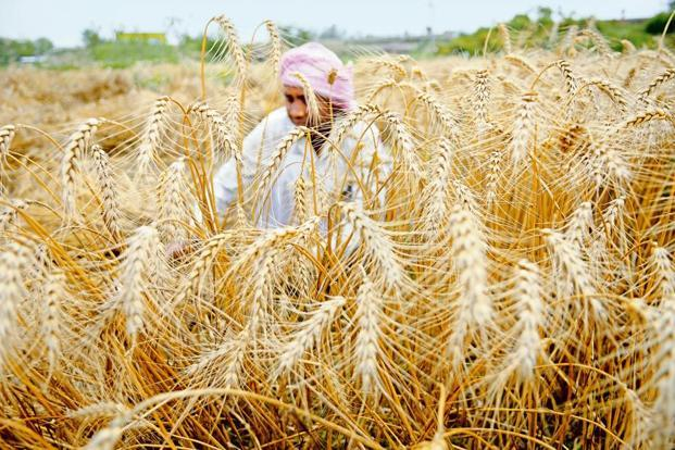 The USDA forecast implies that India's wheat harvest beginning April may not surpass the previous record of 95.9 million tonnes in 2014. Photo: Hindustan Times