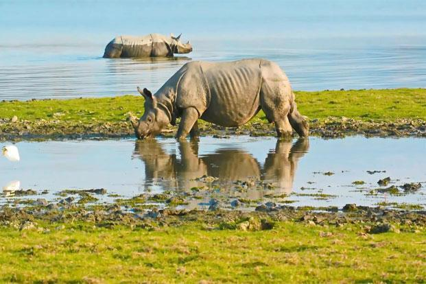 One-horned Rhinos in the Kaziranga National Park. Photo: iStockphoto