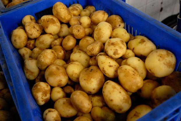 Potatoes, one of the world's largest food crops, are believed to have first been cultivated by the Inca Indians in Peru around 8,000 to 5,000 BC. Photo: Abhijit Bhatlekar/Mint