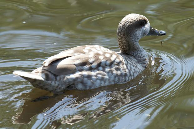 The Marbled Teal is rarely seen in India. Photo: