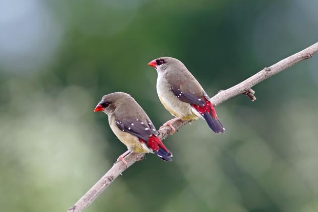 The Red Avadavat, a pretty red bird that belongs to the munia family. Photo: iStockphoto