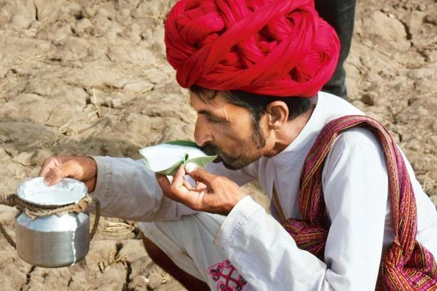 A Raika man drinking camel milk the traditional way with an aak leaf.
