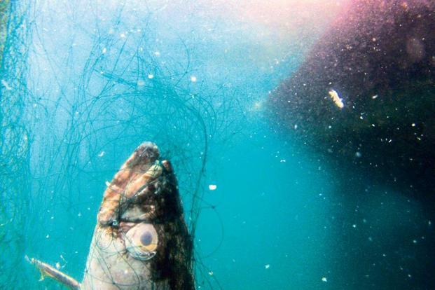 "Toothfish snared by their gills on the fishing gear deployed by 'Thunder'.. Photo: Giacomo ""Josh"" Giorgi"
