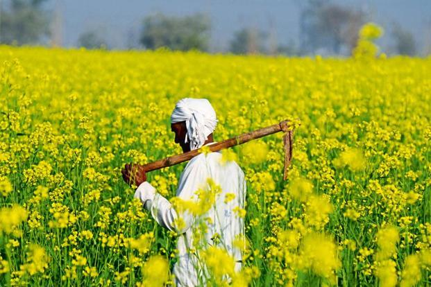 The GEAC has also put a number of conditions to the ministry while recommending the commercial use of GM mustard. Photo: HT