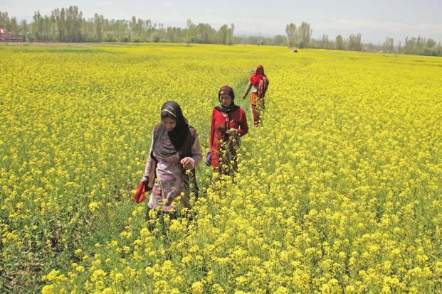 Government Panel Clears Use Of Genetically Modified Mustard. Final Approval Awaited