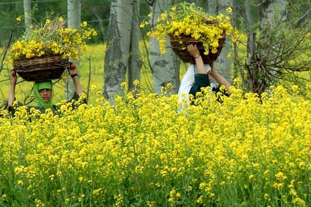 Last week, the GEAC, under the environment ministry, recommended the GM mustard for commercial cultivation. Photo: AFP
