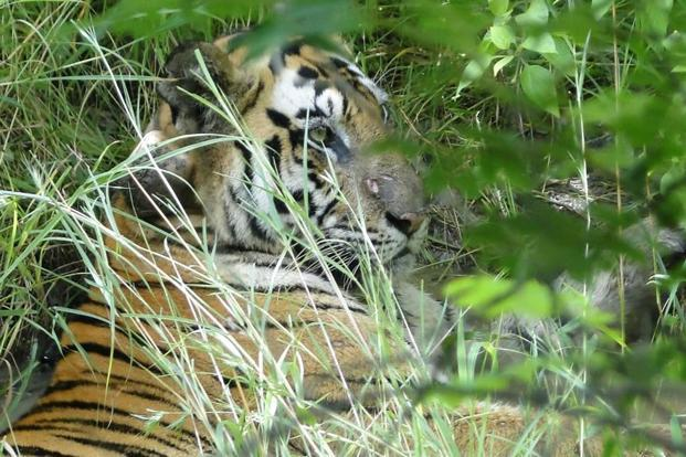 A tigress at the Panna National Park. Environmentalists say the Ken-Betwa river-linking project will threaten endangered species such as the tiger, the gharial, and several kinds of vultures. Photo: HT