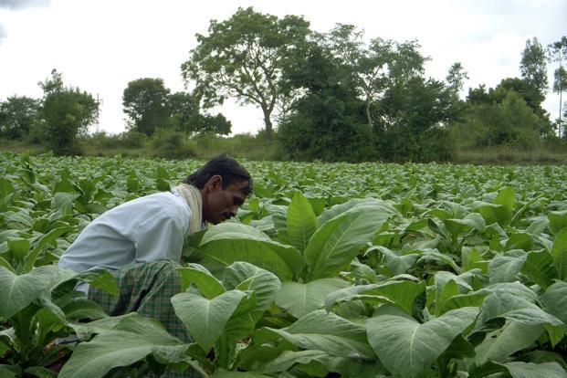 Farmers say the 5% GST rate on tobacco will severely endanger their livelihoods. Photo: PTI
