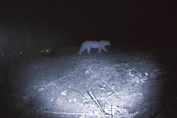 A camera-trap image of a leopard at the Sanjay Gandhi National Park in Mumbai.
