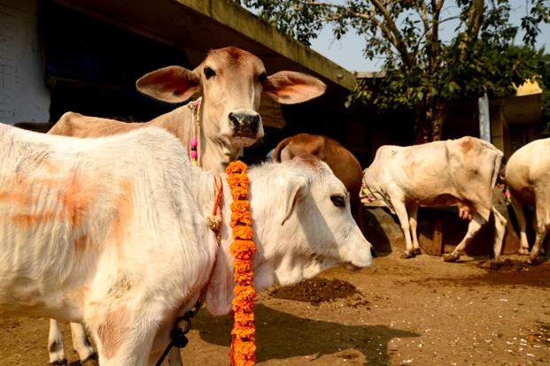 In India, livestock decisions are based on economics rather than a love for cows. Photo: Ramesh Pathania/Mint