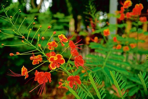 'Gulmohar trees' in the Jijamata Udyan, or the erstwhile Victoria botanical gardens, Byculla.