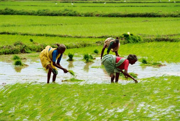 The report says while rice yields could potentially increase in the northern states of India, but may decline by 5% in the 2030s, 14.5% in the 2050s and 17% in the 2080s in the southern states.