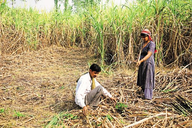 Drip irrigation a must for Maharashtra sugarcane cultivation