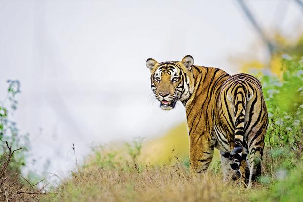 Tigers are very tough to relocate as they cause conflict in the new areas—with tigers in residence and peripheral villages. Photo courtesy: Mithun Hanagund