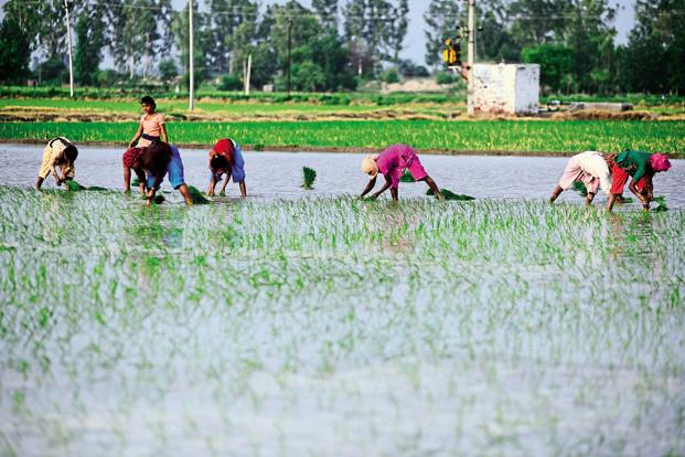 While rice, the main kharif crop, has been sown in 21.6 million hectares, 2.4% higher than the planting by this time last year, overall sowing of pulses is higher by 7%. Photo: Pradeep Gaur/Mint