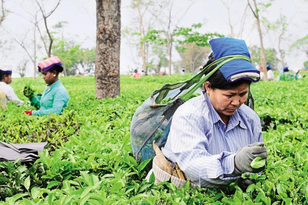 There is no end in sight to the Gorkhaland stir, and if it carries on for another month, there may be no further production Darjeeling's tea estates this year. Photo: Indranil Bhoumik/Mint