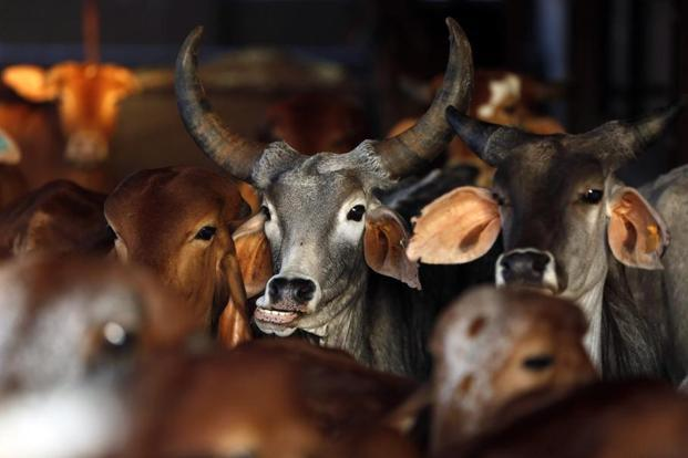 'Bloody gaushalas': BJP neta fed dead cow skin to fish