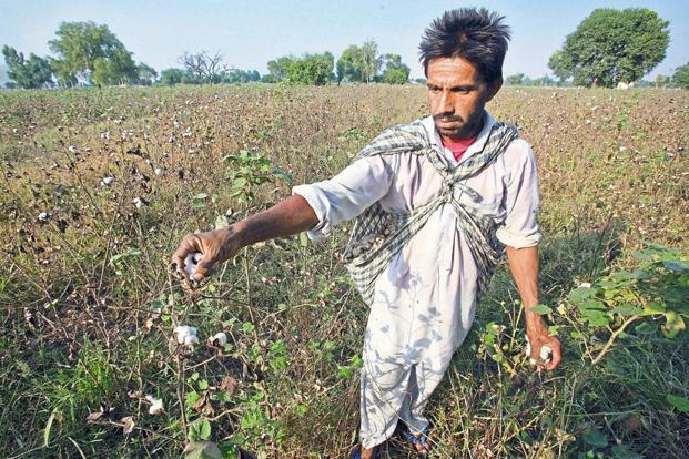 A parliamentary panel has asked the environment ministry to conduct a comprehensive study to evaluate whether Bt cotton is a success amid a debate over whether commercialisation of GM crops should be allowed. Photo: Reuters
