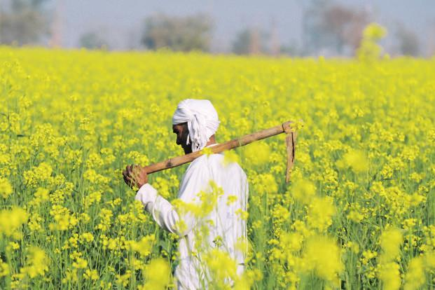 Known as system of mustard intensification (SMI), the technology has earlier been successfully tried in crops like rice and wheat. Photo: HT