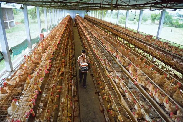 The study found that antibiotics were being used in poultry farms and that the litter was used as manure in neighbouring agricultural lands. Photo: AFP