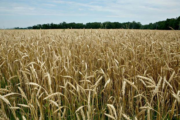 In the last marketing year, which ran from July 2016 through June 2017, Russia exported 27.8 million metric tons of wheat. Photo: Bloomberg