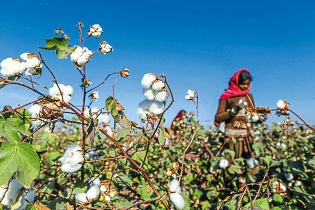 So far this year, cotton has been sown on nearly 18 lakh hectares, much higher than 12.36 lakh hectares in 2016-17. Photo: Bloomberg