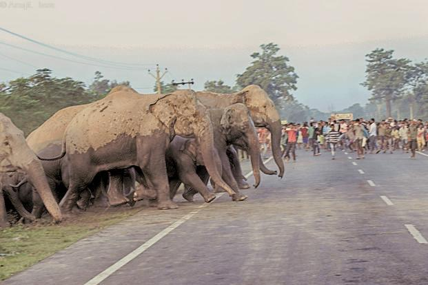 over 80 elephants killed every year due to human elephant conflict