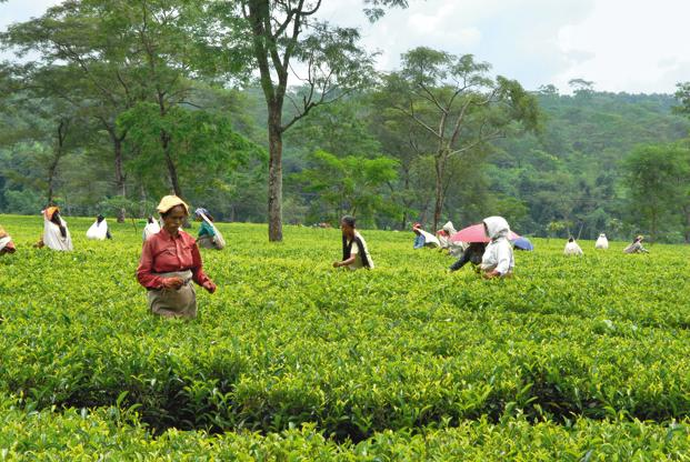 File photo. Tea estates are required to pay a minimum of 8.33% of total annual wages as bonus. Photo: Indranil Bhoumik/Mint