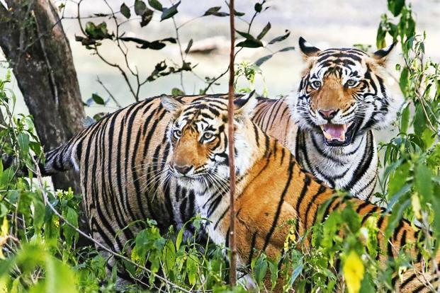 According to a 2014 estimation, India's tiger population was 2,226, spread across 50 tiger reserves. Photo: HT