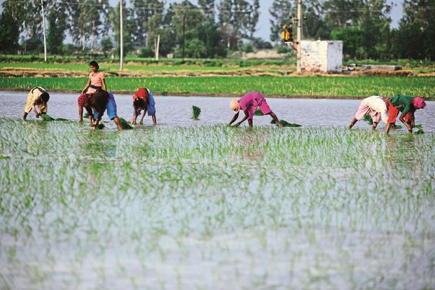 Kharif (summer) crops like paddy has been sown in 1,041.17 lakh hectares till last week of the 2,017-18 kharif season, slightly lower than 1,049.87 lakh hectares in the year-ago, according to the agriculture ministry. File photo: Mint