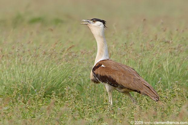 Distinct in appearance, the Great Indian Bustard is large, brown-and- white with black crown and wing markings. Photo: Clement Francis