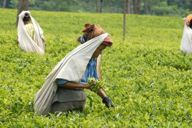Tea estates, which have so far been spared the brunt of the Gorkhaland agitation in Darjeeling, have never before experienced such a prolonged shutdown. Photo: Mint