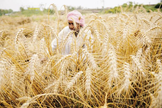 The Cabinet Committee on Economic Affairs (CCEA), chaired by Prime Minister Narendra Modi, has approved the MSPs of all rabi crops for 2017-18. Photo: HT