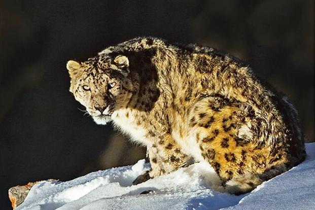 The decision to downlist the snow leopard in IUCN Red List has split the conservation community. Photo: Dhritiman Mukherjee
