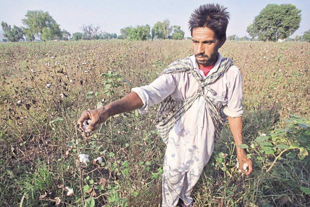 The HT variant of Bt Cotton has not been approved in India. Photo: Reuters