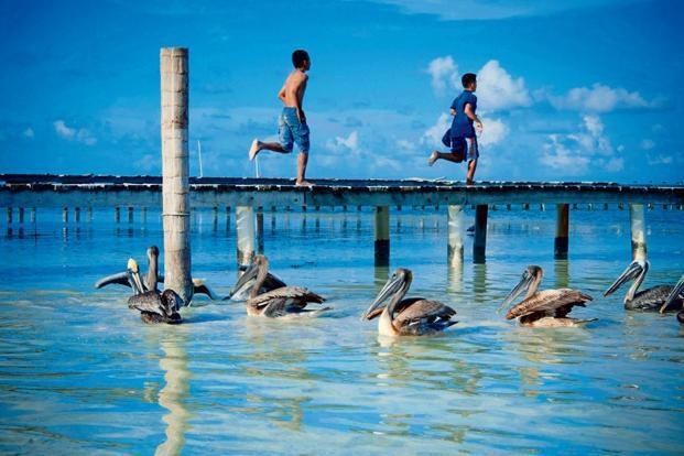 Brown pelicans near a dock at Gaye Caulker, Belize. Photo: Alamy
