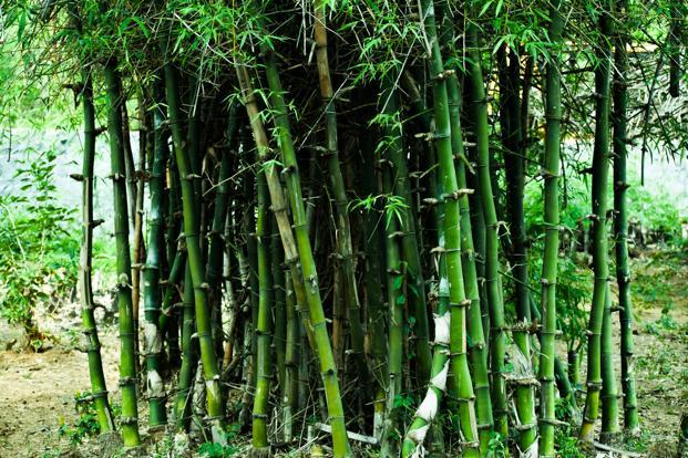 Cabinet says no permit needed for bamboo grown in non-forest areas