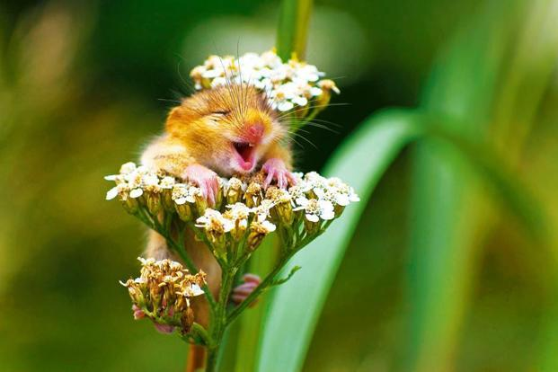 "'The Laughing Dormouse'. ""I was hiking on a mountain close to my hometown (in Italy) when I heard a strange squeaking from the woods and...I found this cute baby dormouse on the top of a yarrow flower! I took just one shot and...amazed, I saw this picture on the monitor of my camera."" Photo: Andrea Zampatti/Monticelli Brusati, Italy"
