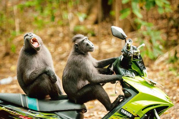'Monkey Escape'. Celebes crested macaques are a critically endangered primate found only in the northern region of Sulawesi, Indonesia. The Tangkoko Batuangus Nature Reserve is an important habitat for this species and others. These two monkeys broke away from their group to 'test drive' a motorbike parked near the entrance to the reserve. Photo: Katy Laveck-Foster/ Seattle, US