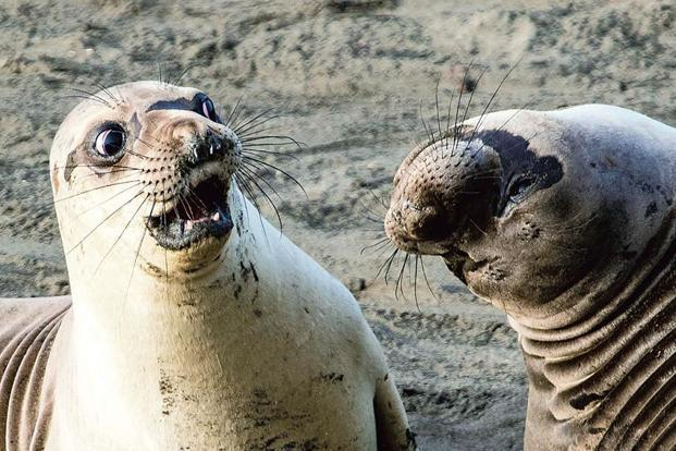 WTF?'. A young northern elephant seal ('Mirounga angustirostris') reacts to his friend's revelation that he voted for Brexit, at the Piedras Blancas Elephant Seal Rookery, San Simeon (elephant seals are marine mammals, but they are hardly ever photographed underwater, and they spend inordinate amounts of time on the beach, to mate, to give birth and to just lie around). Photo: George Cathcart/Bluffton, US