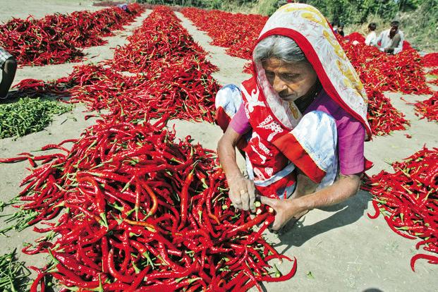 According to data from the horticulture department, chilli was sown in an area of 12.43 lakh hectares in Telangana last year, which gave a yield of about 48.29 lakh tonnes. Photo: Reuters