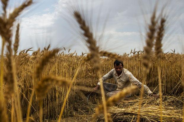 Usually about 30.2 million hectares are planted with wheat  and a lower area this year is on account of Madhya Pradesh, where close to a million hectares has not seen wheat being sown. Photo: Bloomberg