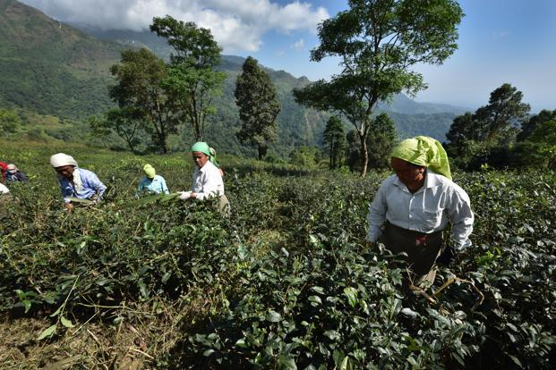 A file photo of the Makaibari tea estate in Darjeeling. Its workers collected 50kg of tea leaves before Christmas. Photo: Indranil Bhoumik/Mint