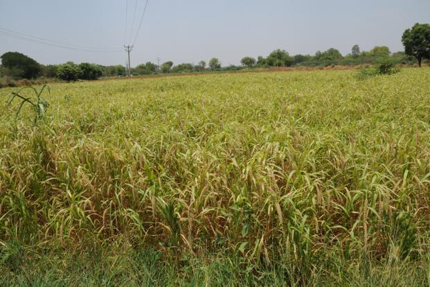 File photo. According to Karnataka agricultural department data, the total cultivated area for major millets has gone up by around 10% or 1.8 lakh hectares this year. Photo: Mint
