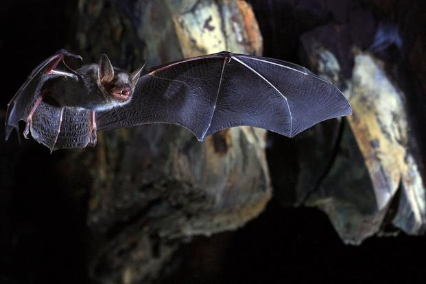 Only 19 mammal species are longer-lived than humans relative to body size. Eighteen of them are bats, some living more than four decades. Photo: Reuters