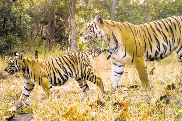 There were 1,411 tigers in 2006, 1,706 in 2011 and 2,226 in 2014. The numbers are likely to rise in 2018. Photo: Pench Tiger Reserve